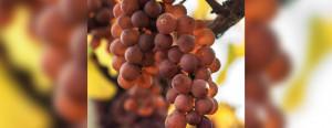 Pinot Gris - Poznajemy szczepy
