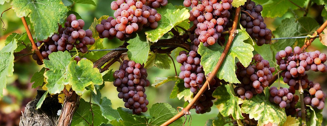 Weinbiet